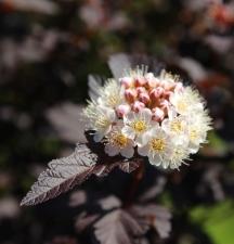 Blüte Diabolo-Strauch