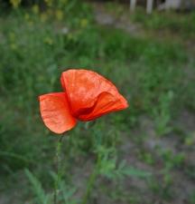 Erste Blume im Garten